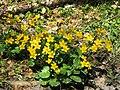 2019-04-25 (147) Caltha palustris (marsh-marigold) at Jägerlacke, Texingtal, Austria.jpg