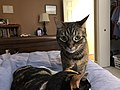2020-03-22 09 24 54 A Tabby cat sitting next to a Calico cat on a bed in the Franklin Farm section of Oak Hill, Fairfax County, Virginia.jpg