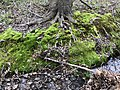 2020-04-29 12 13 14 A mossy bank at the base of a Red Maple along a ephemeral stream in the Franklin Glen section of Chantilly, Fairfax County, Virginia.jpg