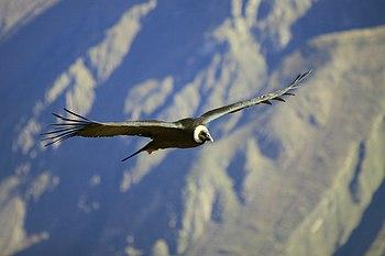 203 - Canyon de Colca - Condor des Andes - Juin 2010.JPG