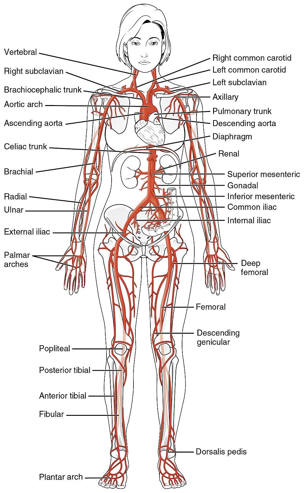 2120 Major Systemic Artery