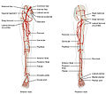 2129ab Lower Limb Arteries Anterior Posterior.jpg