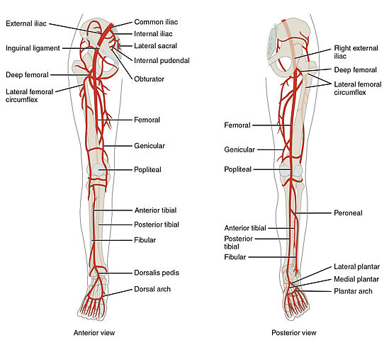 Flow Chart Of Heart Blood Flow: 2129ab Lower Limb Arteries Anterior Posterior.jpg - Wikimedia ,Chart