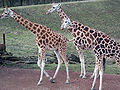 3 Giraffen.JPG