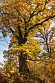46-233-5005 Svirzh Oak RB 18.jpg
