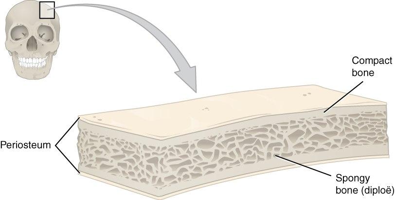 621 Anatomy of a Flat Bone