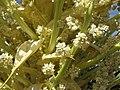 63 Nolina parryi fh 0523.23 CAL B.Blütenausschnitt.jpg