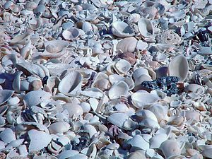 Eighty Mile Beach - Eighty Mile Beach shells