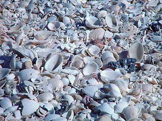 Eighty Mile Beach - Eighty Mile Beach shells