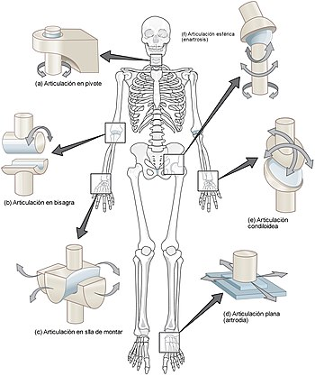 909 Types of Synovial Joints esp.jpg