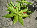 9766Ornamental plants in the Philippines 03.jpg