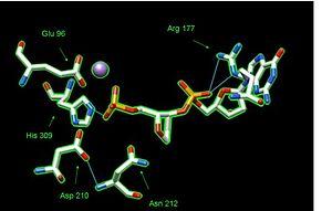 AP endonuclease - Image: APE1activelabeled
