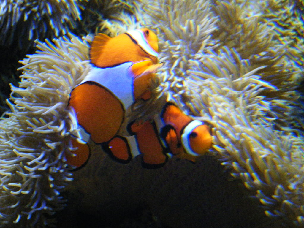 File a clown wikimedia commons for Clown fish size