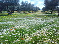 A View of Chamomile flowers inside olive groves in the endagered rural province of Redjas.jpg
