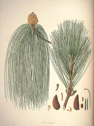Pinus roxburghii - Needles