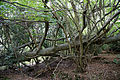 A fallen tree Lower Beeding West Sussex England.jpg