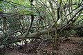 A fallen tree Lower Beeding West Sussex England.jpg