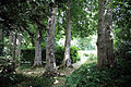 A group of trees with hedging Gibberd Garden Essex England 01.JPG