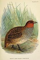 Изображение круглой, крупноногой птицы с коричневой полосатой спиной, серым низом и ржавой головой и горлом, идущей по земле.