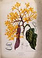 A plant (Saraca declinata Miq.) related to the asoka tree; f Wellcome V0042702.jpg