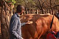 A young Motswana Farmer brushing a bull at his farm 2.jpg