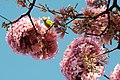 Aberta a temporada de ipês roxos em Brasília (41030202180).jpg