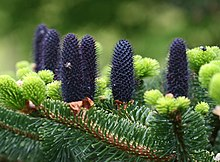 Abies Delavayi Wikipedia