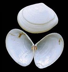 bivalve shell wikipedia