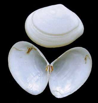 Bivalve shell - Two whole shells, one closed and one open, of the marine bivalve Abra alba