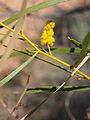 Acacia ancistrocapa flowers.jpg