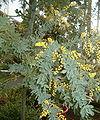 Acacia baileyana BotGardBln271207B.jpg