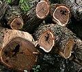 Acacia caffra04.jpg