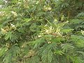 Acacia mearnsii-2-shevaroy temple area-yercaud-salem-India.jpg