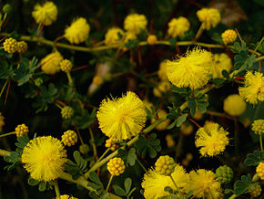 Description de l'image Acacia pulchella 1.jpg.