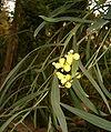 Acacia rostellifera BotGardBln1105 InflorescensesLeaves.jpg