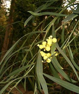 Acacia rostellifera BotGardBln1105 InflorescensesLeaves