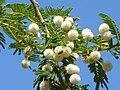Acacia sieberiana, blomme, Pretoria, b.jpg