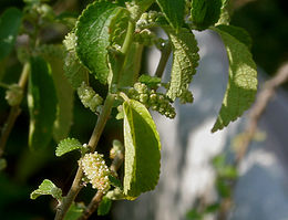 Acalypha fruticosa W IMG 3173