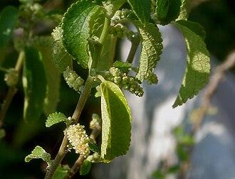 Acalypha - Acalypha fruticosa