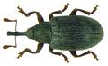 Acalyptus carpini (Fabricius, 1792) (8130221063).png