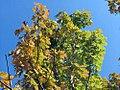Acer freemanii Autumn Blaze 0zz.jpg