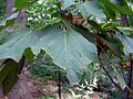 Acer nipponicum 1zz.jpg