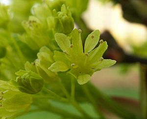 Acer platanoides - Flower, close-up