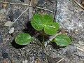 Aconitum napellus 2018-05-22 2605.jpg