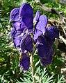Aconitum napellus inflorescence (27).jpg