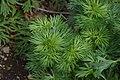 Aconitum napellus subsp. vulgare in Jardin Botanique de l'Aubrac 08.jpg