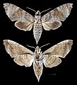 Acosmeryx miskini MHNT CUT 2010 0 139 Wau New Guinea female.jpg