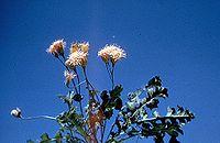 Acourtia runcinata