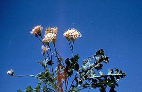 Acourtia runcinata.jpg