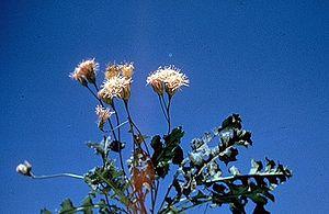 Acourtia - Acourtia runcinata